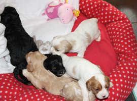 Beautiful Cavachon Puppies