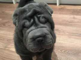 Blue shar pei for stud