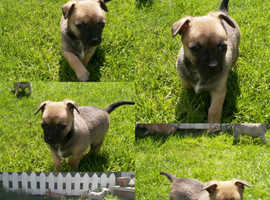 Gorgeous chihuahua boy puppy for sale deer head smooth coat)