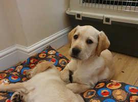 Labrador Puppy Girl