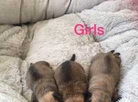 Beautiful puppies for sale looking for a really good home mum can be seen. At viewing £100 deposit