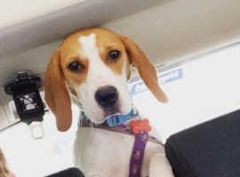 Beautiful beagle for sale