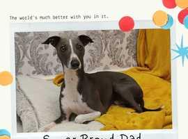 Italian Greyhound x Whippet Puppies