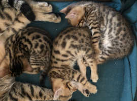 Bengal kittens ready for new home mid September