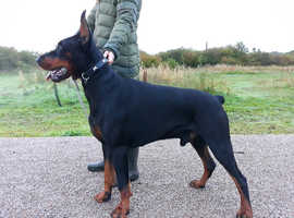 Dobermann Dogs & Puppies For Sale & Rehome in Whitehaven