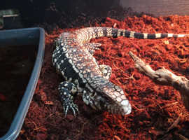 argentine black and white tegu For sale!