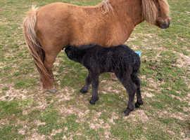 Registered Shetland mare & foal
