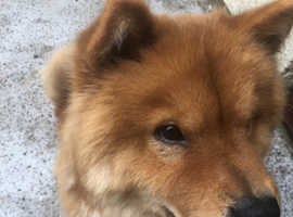 For sale chow chow male