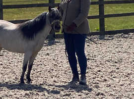 3yr old AMHC MARE