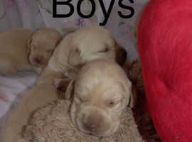 Labrador Retrievers in Paddington | Dogs & Puppies For Sale & Rehome