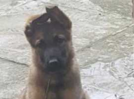 Kc German shepherd pups for sale