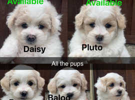 5 gorgeous lhasapoo puppies looking for their perfect homes