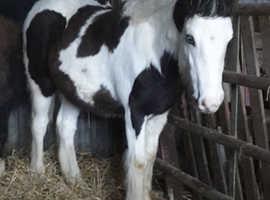 Traditional cob colt foal