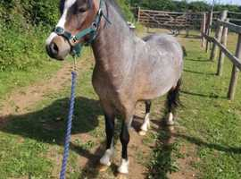11.2 Welsh A gelding for full loan