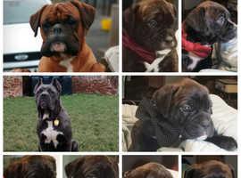 Cane Corso x Boxer puppies