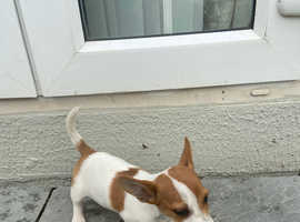 Two lovely jack Russel puppy's