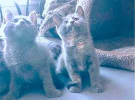 Stunning Blue Siberian Forest Kittens For Sale
