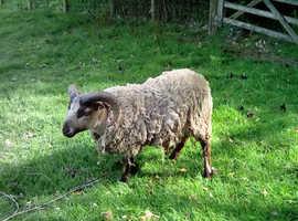 Slightly Camera Shy Pedigree Shetland Ram