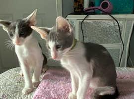 Stunning GCCF registered Oriental kittens