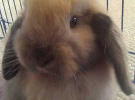 CUTE HOLLAND LOP FOR SALE
