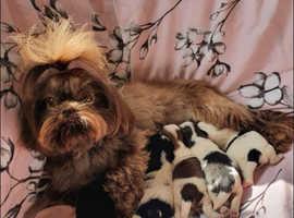 Maltipoo cross Shih Tzu puppies