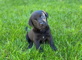 Save Chunky Labrador puppy's looking for new home.
