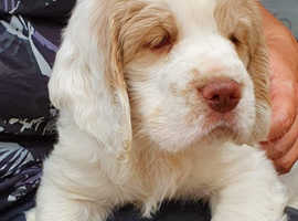 Clumber Spaniel Puppies KC REG Health tested