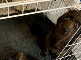 F1B Miniature Labradoodle Puppies - Ready Now