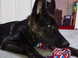 8 month old German Shepherd