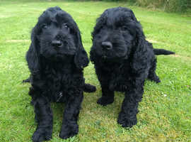 Cockapoo Dogs & Puppies For Sale & Rehome in Wrexham   Find