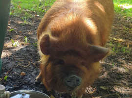 Kune kune pet pig 7 months gilt