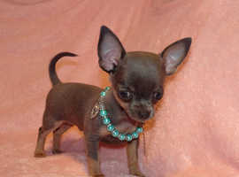 XXXXXXS Micro Tiny Exquisite KC Registered Blue & Tan Chihuahua Boy Puppy