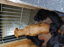 NO DEPOSIT 3 pure black MALE labradors available