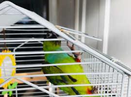 Nanday parrot