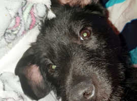 Female patterdale terrier ready to mate