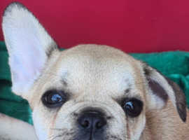 Female kc registered french bulldog pup ready now