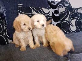 Last girl Cavapoo puppy