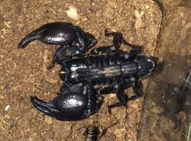 Beautiful Asian Forest Scorpion