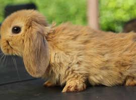Very Cute Dwarf Mini Lop Rabbit