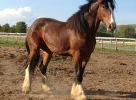 18.1hh (approx) 8 year old Registered Shire Gelding