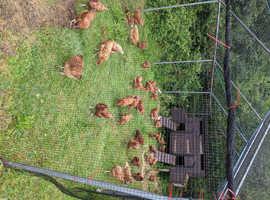 Chicken, lohmans, Americana