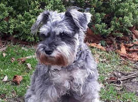 Schnauzer looking for a home