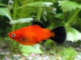 Red Wagtail Platy Fish £1.5 each, Salvinia auriculata cup £2