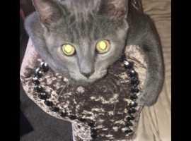 7 month grey/blue male kitten