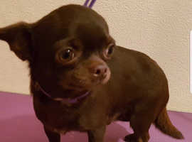 XXS KC registered tiny female Chihuahua