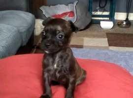Bochi puppy last girl available