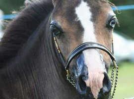 American Miniature Horse (stallion prospect)