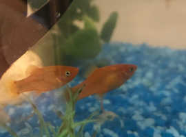 Platys - cold water fish FREE