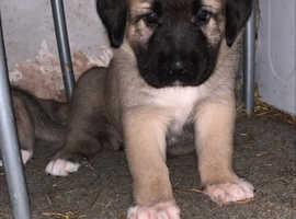 XL Turkish Kangal Puppies