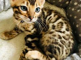 TICA Bengals kittens